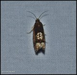 Tortricid moth (Eucosma parmatana), #2937