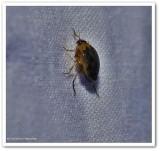 Crawling water beetle (Peltodytes edentulus)