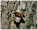 Sweet click beetle (Aeolus mellillus)