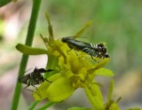 Yellow nutsedge moths (Diploschizia impigritella), #2346