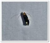 Orange-headed Monopis moth  (Monopis spilotella), #0421