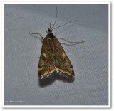 Beet webworm moth (Loxostege sticticalis), #5004