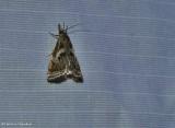 Elegant grass veneer moth (Microcrambus elegans), #5420