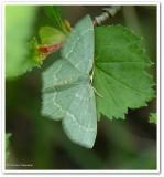 Pistachio Emerald moth  (Hethemia pistasciaria), #7084