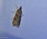 Double-striped scoparia  (Scoparia biplagialis), #4716