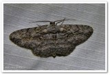 Common gray moth (Anavitrinella pampinaria), #6590