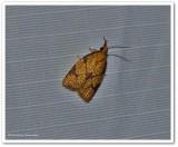 Reticulated fruitworm moth (Cenopis reticulatana), #3720