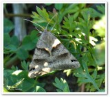 Clover looper moth (Caenurgina crassiuscula), #8738