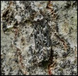 Twirler moth  (Chionodes)??