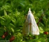 Gold-stripe grass veneer moth (Microcrambus biguttellus), #5419