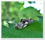 White-spotted hedya moths (Hedya chionosema), #2863