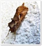 Common looper (Autographa precationis), # 8908