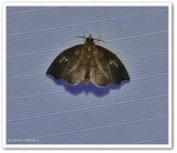 Titian peale's crambid  moth (Perispasta caeculalis), #4951
