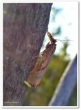 Lesser vagabond sod webworm  (Agriphila ruricolellus), #5399