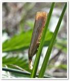 Vagabond crambus moth (Agriphila vulgivagellus), #5403