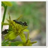 Yellow nutsedge moth (Diploschizia impigritella), #2346