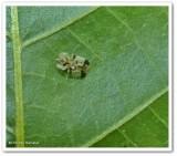 Lace Bugs (Tingidae)