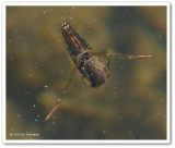 Backswimmers (Family:  Notonectidae)