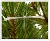 Plume moth (Hellinsia?)