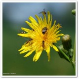 Insects on sow thistle (Sonchus)
