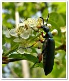 Blister beetle (Lytta sayi)
