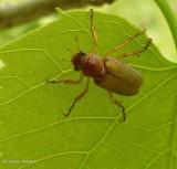 Scarab beetle (Dichelonyx linearis)