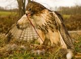 Falconry Pics