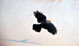 Indian Crow TO