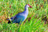 Purple Swamphen (Porphyrio porphyrio)