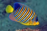 Peacockfish