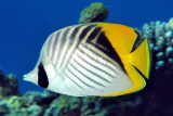 Threadfin Butterflyfish, 'Chaetodon auriga auriga'