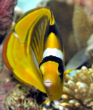Racoon Butterflyfish Frontal Close