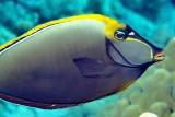 Unicornfish ' Naso elegans', Close