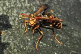 Eyes to Eyes: Japanese Hornet (vespa mandarinia japonica)