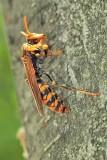 Japanese Hornet Profile