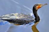 Inquisitive Cormorant