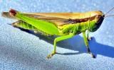 A One Colourful Grasshopper