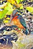 Thinking Kingfisher