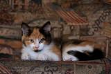 Chatte d'Espagne / Calico cat