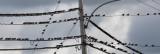 Étourneaux sansonnets / Common Starlings