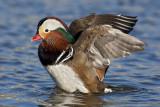 Canard mandarin / Mandarin duck