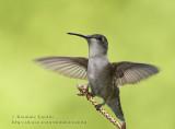 Colibri à Gorge Rubis (f) / Ruby-throated Hummingbird (f)