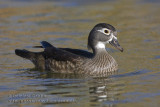 Canard branchu (f) / Wood Duck (f)