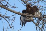 Buse pattue (forme sombre)  /  Rough-legged Hawk (dark morph)