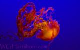 Monterey Medusozoa