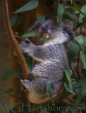 Koala Kuddle