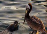 Sea Lion Pelican Meetup