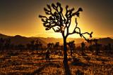 Joshua Tree Sunset Stars