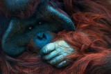Orangutan Contemplating