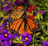 Monarch Encounter